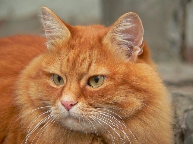 Рыжий Кот. Любимый и Прекрасный. А может быть, ну ее, эту свадьбу?